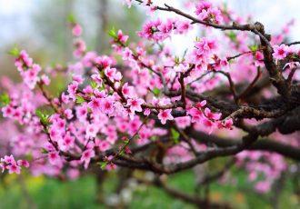 fleur de peche vietnam