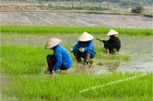 paysans-travaillant-dans-le-champ-du-riz