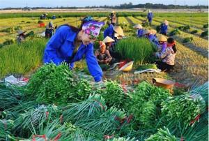 saison-de-recolte-au-vietnam