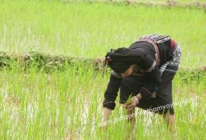 culture-du-riz-inondee