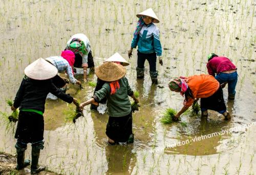 ripiquages-du-riz