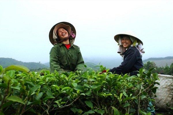 ceuillette-du-the-vert-nord-vietnam2