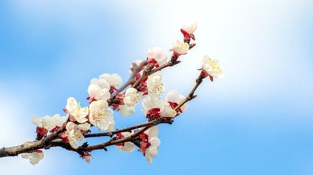 fleur-abricot