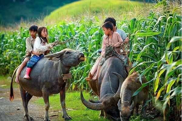 pacage-des-boeufs-vietnam